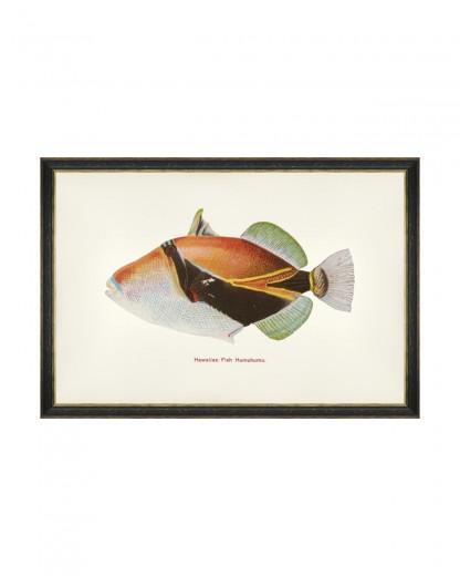 Tablou Framed Art Fishes Of Hawaii - Humuhumu Fish, 60 x 40 cm