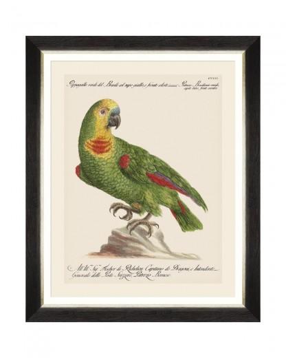 Tablou Framed Art Parrots Of Brasil II, 40 x 50 cm