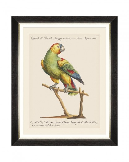 Tablou Framed Art Parrots Of Brasil VII, 40 x 50 cm