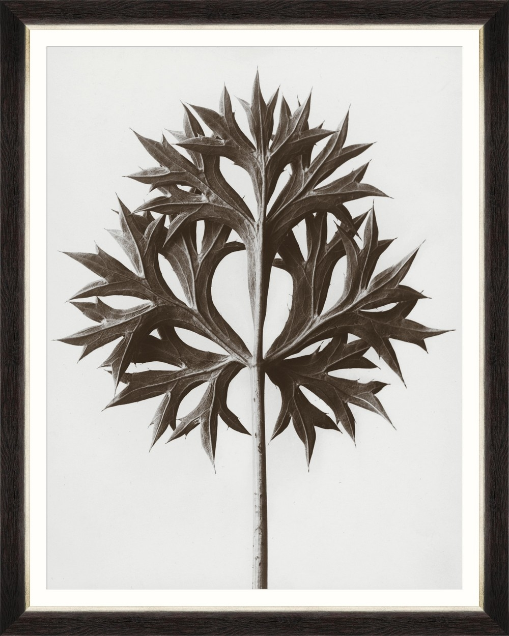 Tablou Framed Art Eryngium By Blossfeldt