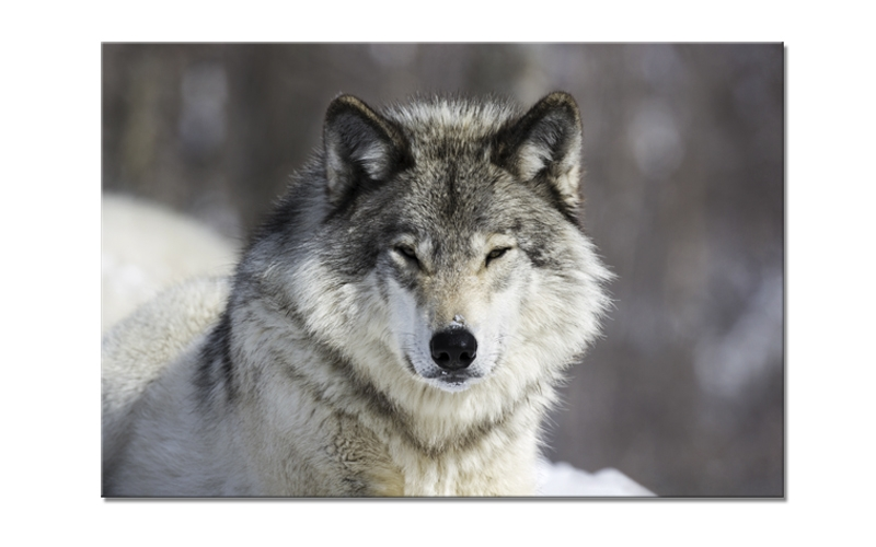 Tablou Sticla Glasspik Wolf, 80x120 cm