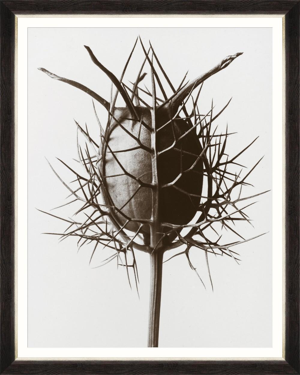 Tablou Framed Art Nigella Damascena By Blossfeldt somproduct.ro