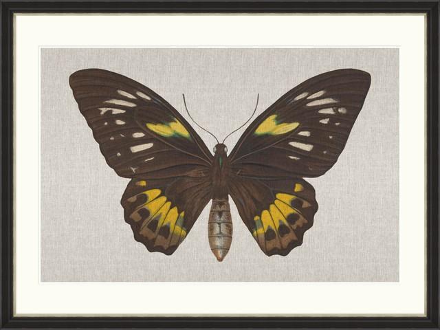 Tablou Framed Art Ornithoptera Pegasus