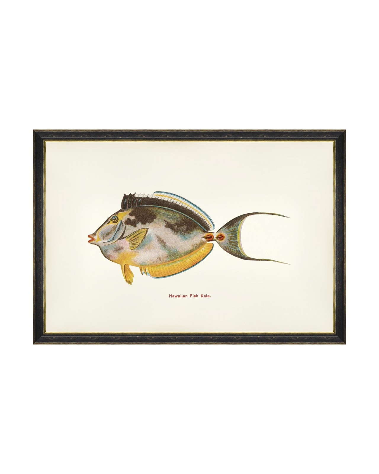 Tablou Framed Art Fishes Of Hawaii - Kala Fish, 60 x 40 cm imagine