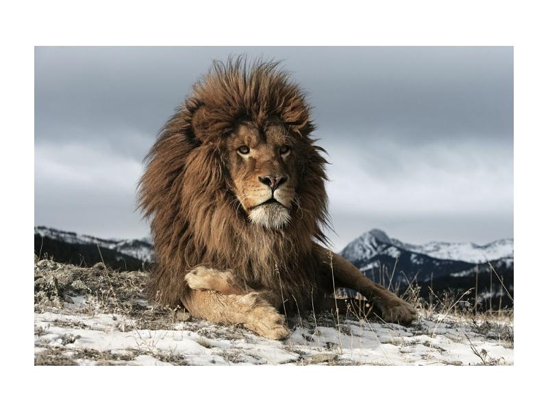 Tablou Sticla Lion, 120 x 80 cm imagine